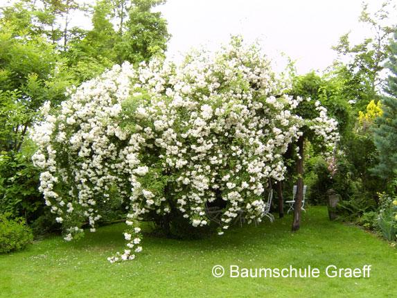 Baumschule Graeff - Rosen, Bambus, Gräser, Pflanzen, Ziergehölze ...